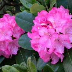 Prepare the rhododendron for winter to protect it from the cold weather.