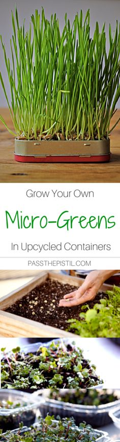 It's easy to grow your own micro-greens. Healthy living and gardening in the smallest of spaces at your fingertips.