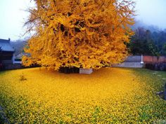 1,400-year-old tree sheds golden leaves on an ancient temple