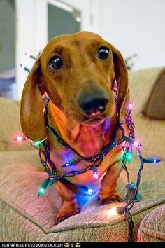 Adorable pup sitting with multicoloured Christmas lights