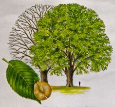 watercolour of wych elm tree/ Leamhán sléibhe