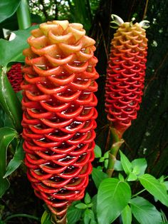 beehive ginger flower Nature Is Weird ( Tropical Garden, Tropical Plants, Tropical Flowers, Hawaiian Flowers, Ginger Flower, Ginger Plant, Succulent Bonsai, Strange Flowers, Special Flowers