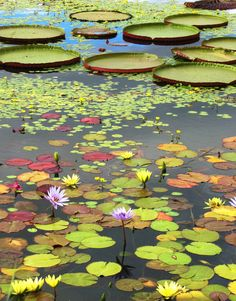 Lily Pads - Most Beautiful Pictures Beautiful Flowers, Beautiful Gardens, Beautiful Pictures, Lotus Pond, Pond Life, Lily Pond, Aquatic Plants, Parcs, Mother Nature