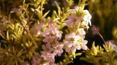 Golden Diosma: Coleonema pulchellum 'Sunset Gold', PlantSeasonality - Gardening on LifeStyle HOME