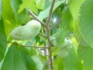 Apios Institute   Edible Forest Garden Wiki - Useful Plant Species - Regenerative Agriculture - Edible Landscaping   Regenerative Perennial ...