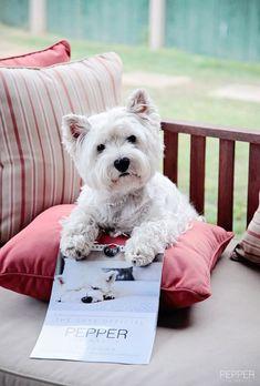 Pepper says have you got my 2014 Calendar yet? Pepper the Westie via facebook