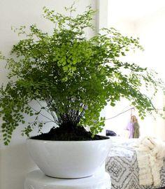 Tips on Growing Maidenhair Ferns #easyindoorhouseplants