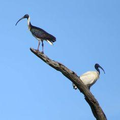 CSIRO seeks sightings of straw-necked ibis as backyard bird count kicks off - ABC News Australian Animals, Backyard Birds, Have You Seen, Pet Birds, Scientists, Count, Kicks, Chicken, Birds