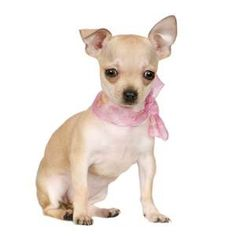 Share what I know about Chihuahua. Show you all fancy, cute, lovely accessories for chihuahua and small breed dogs. Chihuahua Breeds, Cute Chihuahua, Chihuahua Puppies, Dog Breeds, Dogs And Puppies, Chihuahuas, Chihuahua Tattoo, Teacup Puppies, Doggies