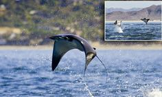 School of mobula rays leap up to five feet out of the water in Mexico