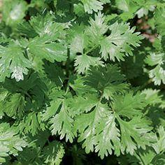 Herb, Cilantro Organic | Seed Savers Exchange