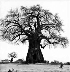 Baobab Tree / Tree of Life More Pins Like This At FOSTERGINGER @ Pinterest
