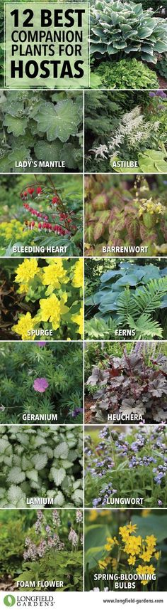 Companion Planting Companion plants for hostas. - Hostas can hold their own in a shade garden, but pairing them with bulbs and other perennials will accentuate their natural beauty and extend the season. Shade Perennials, Shade Plants, Hosta Plants, Shade Flowers, Plants For Planters, Flower Planters, Flowers Nature, Beautiful Flowers, Garden Shrubs