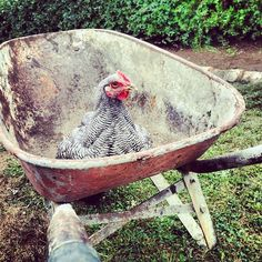 """Dear chicken, please don't shit in my wheelbarrow. Chickens And Roosters, Bantam Chickens, Fancy Chickens, Pet Chickens, Chicken Club, Country Life, Country Living, Farms Living, Nature"