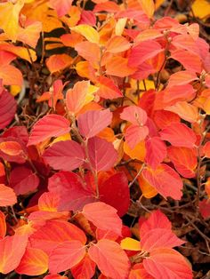 Fothergilla, a deciduous shrub, offers white flowers in spring and glorious fall color.