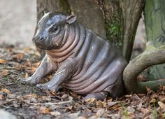 This cute little pygmy hippo from Parken Zoo in Sweden has been dubbed a 'little Michelin man' by keepers.