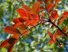 The photo above provides an example of the brilliant red color that poison sumac's autumn foliage can assume.