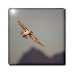 """Alaska, Glacier Bay NP, Mew Gull bird - US02 PSO0707 - Paul Souders - 12 Inch Ceramic Tile by 3dRose. $22.99. Clean with mild detergent. Image applied to the top surface. Dimensions: 12"""" H x 12"""" W x 1/4"""" D. High gloss finish. Construction grade. Floor installation not recommended.. Alaska, Glacier Bay NP, Mew Gull bird - US02 PSO0707 - Paul Souders Tile is great for a backsplash, countertop or as an accent. This commercial quality construction grade tile has a high gloss finish. ..."""