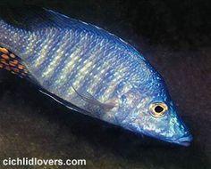 Malawi Cichlids, African Cichlids, Aquarium Fish, Google Search, Pisces