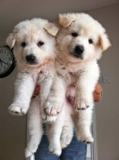 White German Shepherd puppies.