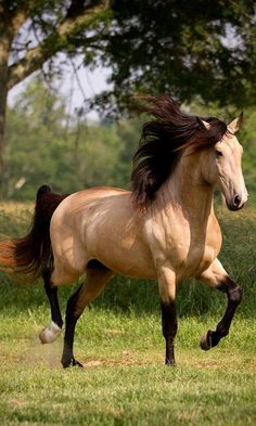 DEM Conquistador buckskin Lusitano stallion cantering underneath tree by AislingH Most Beautiful Horses, All The Pretty Horses, Animals Beautiful, Beautiful Gorgeous, Majestic Horse, Majestic Animals, Cute Horses, Horse Love, Horse Photos