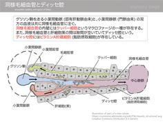 洞様毛細血管とディッセ腔