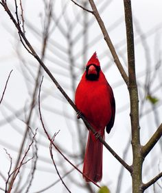 Northern Cardinal,taken in Florida at Merritt Island Refuge