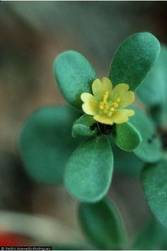 Fabulous edible weed, purslane!