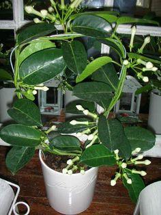 Rostliny v bytě nám pomáhají čistit vzduch od toxinů a jiných škodlivých látek a jsou významnými producenty kyslíku. Některé však dokážou kromě těchto prospěšných vlastností plnit i další funkci – dokáží naplnit krásnou vůní celý byt. Osvěžovače vzduchu plné chemie tak můžete klidně pustit z hlavy. Seznamte se s voňavým zázrakem – Věncovcemkvětnatým. Věncovecmá oproti …