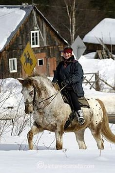 Canada, Quebec City, Charlevoix, winter cavalier || riding horse in snow