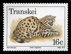 """Transkei 1988 / Black-footed Cat [Felis nigripes] is the smallest African cat, and is endemic in the sw arid zone of the southern African sub-region. / Transkei represented a significant precedent and historic turning point in South Africa's policy of apartheid and """"separate development""""; it was the first of 4 territories to be declared independent of S. Africa. The territory was reincorporated into South Africa on 27 April 1994, and the area became part of the Eastern Cape province."""