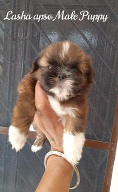 CONTACT-8420355767 Best Puppies, Best Dogs, Dogs And Puppies, Professional Dog Training, All Types Of Dogs, Dog Shop, Dogs For Sale, Lhasa Apso, Samoyed