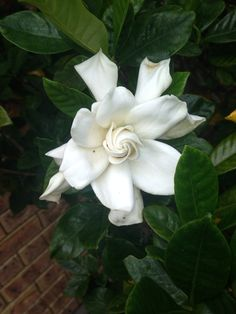 Gardenia (gardenia jasminoides): Your plant does appear to be a gardenia, which grows best in acid soil. Its white flowers have an intoxicating fragrance, but the plant is toxic to cats and dogs. Needs full or partial sun and regular water and feed with a slow-release or organic fertilizer formulated for blooming gardenias. Gardenias, Love Flowers, White Flowers, Benadryl For Cats, Toxic Plants For Cats, Siberian Cats For Sale, Teacup Cats, Angora Cats, Organic Fertilizer
