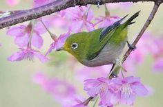 メジロ - Google 検索 White Eyes, Birds, Japanese, Pentax K20d, Spring, Nature, Animals, Google, Beautiful