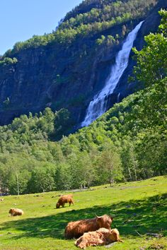 Fjords of Norway: Cows More More