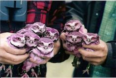 Yet another Technicolor Owl hoax -- In 2009, the Canadian naturalists have found a Habitat of purple owls! These owls are in special care of scientists since they found . On 2012 year only 20 purple owls left. -- the original non-purple passle of owls is easily found on many Pins, as well as on the internet.