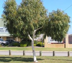Eucalyptus victrix 'Little Ghost Gum' Ideal ornamental small tree with smooth white trunk to high White flowers in Spring Full sun Attracts honey & seed eating birds All soils Drought tolerant Origin: WA Garden Front Of House, Trees For Front Yard, Front Yard Plants, Front Yards, Trees And Shrubs, Trees To Plant, Australian Native Garden, Australian Flowers, Eucalyptus Tree