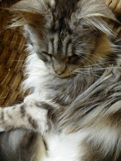 Penelope,, a Maine Coon cat