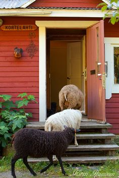Country Living - sheep