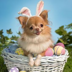 chihuahua easter pictures - Google Search