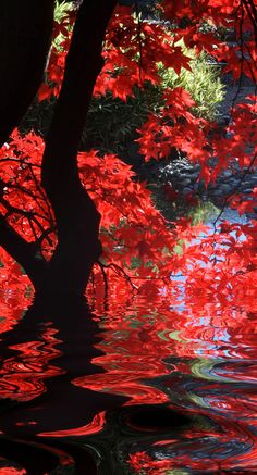 Japanese garden with bright red maple and dark branches. | Check Out The Most Majestically Trees In The World!