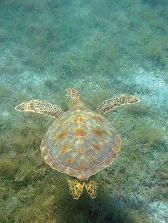 #sea turtle     -   http://vacationtravelogue.com Easily find the best price and availability   - http://wp.me/p291tj-7r