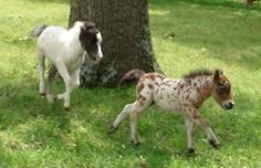 2 miniature horse fillies running & playing!!! Mime Amazing & Spotted Phoebe!!!