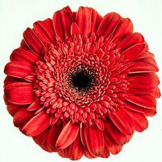 Single red gerbera daisy photograph Gerbera by ChasedByBeauty