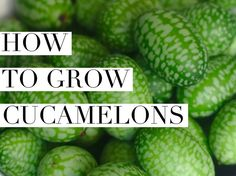 Add a bit of whimsy to your garden this year with an adorable cucamelon plant. This small plant is a delicate, yet strong vining one that produces dainty fruit resembling a tiny one-inch watermelo…