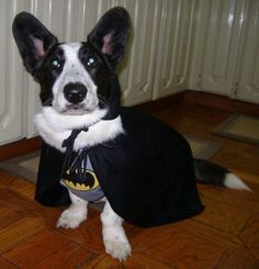 Corgi in Batman Costume