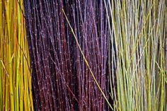 yellow, red and green - harvested basketry willows at Dunbar Gardens