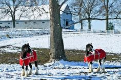 Clydesdales a Kentucky Horse Park Clydesdale Horses, Breyer Horses, Draft Horses, Horse Stables, Horse Farms, Majestic Horse, Beautiful Horses, Horses In Snow, Big Horses