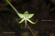 Habenaria viridiflora
