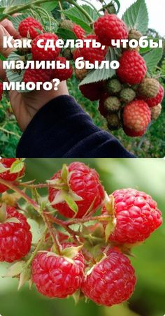 Homestead Gardens, Bbg, Garden Design, Raspberry, Life Hacks, Home And Garden, Soda, Fruit, Homemade Tools